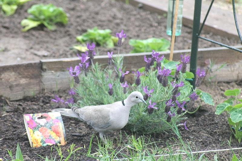 pigeon11